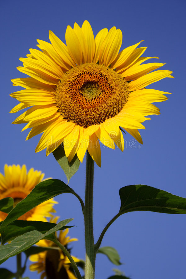 Download Sunflower stock image. Image of nature, sonne, blossom - 4344673
