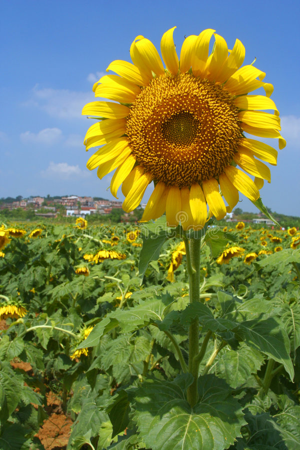 Free Sunflower Stock Image - 487881
