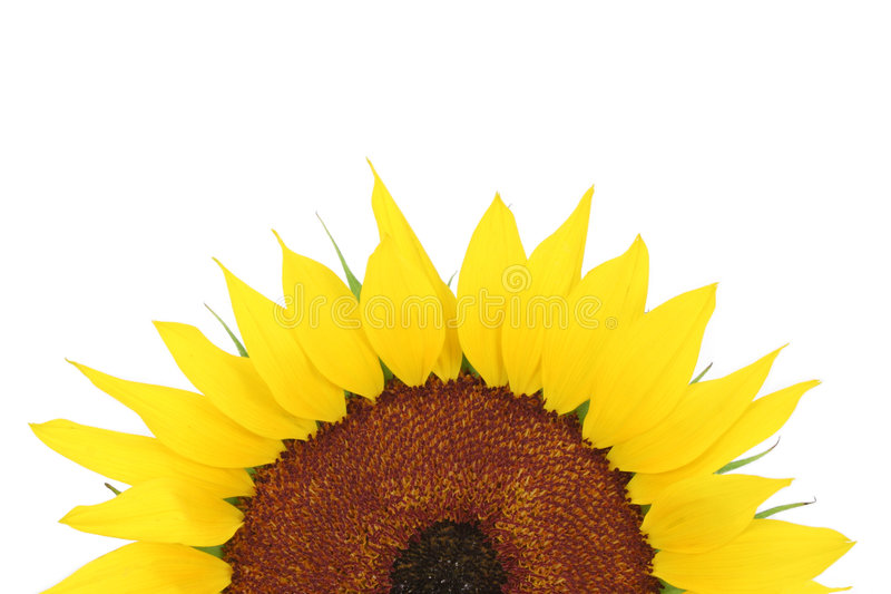 Download Sunflower stock image. Image of organic, natural, blossom - 4902217