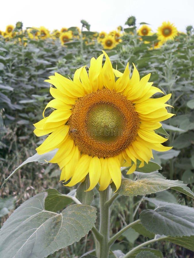 Sunflower. In garden stock images