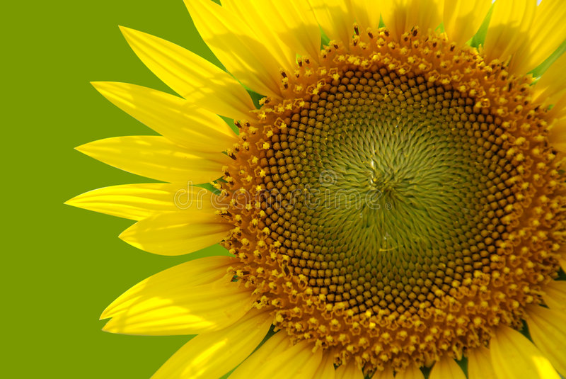 Sunflower. With clipping path in smooth background
