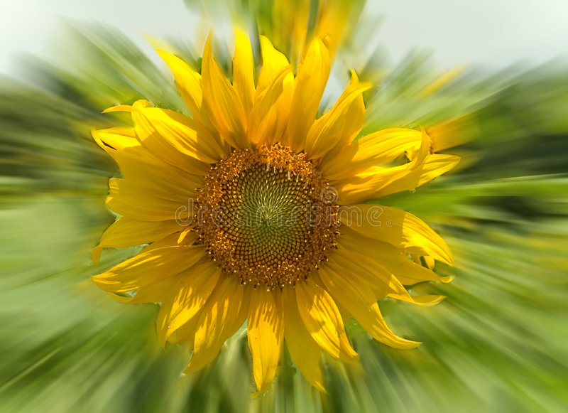 Download Sunflower stock image. Image of petals, spin, green, abstract - 523249