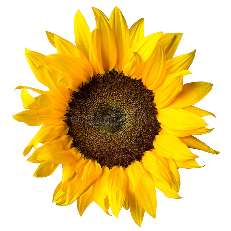 Free Sunflower Royalty Free Stock Photo - 5828865
