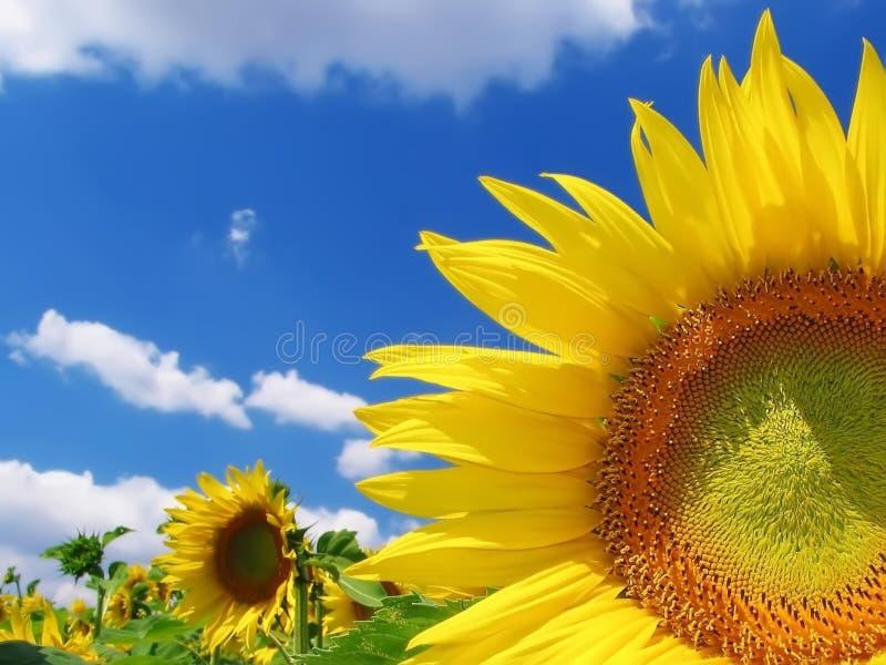 Download Sunflower stock image. Image of macro, blue, botany, over - 5888475