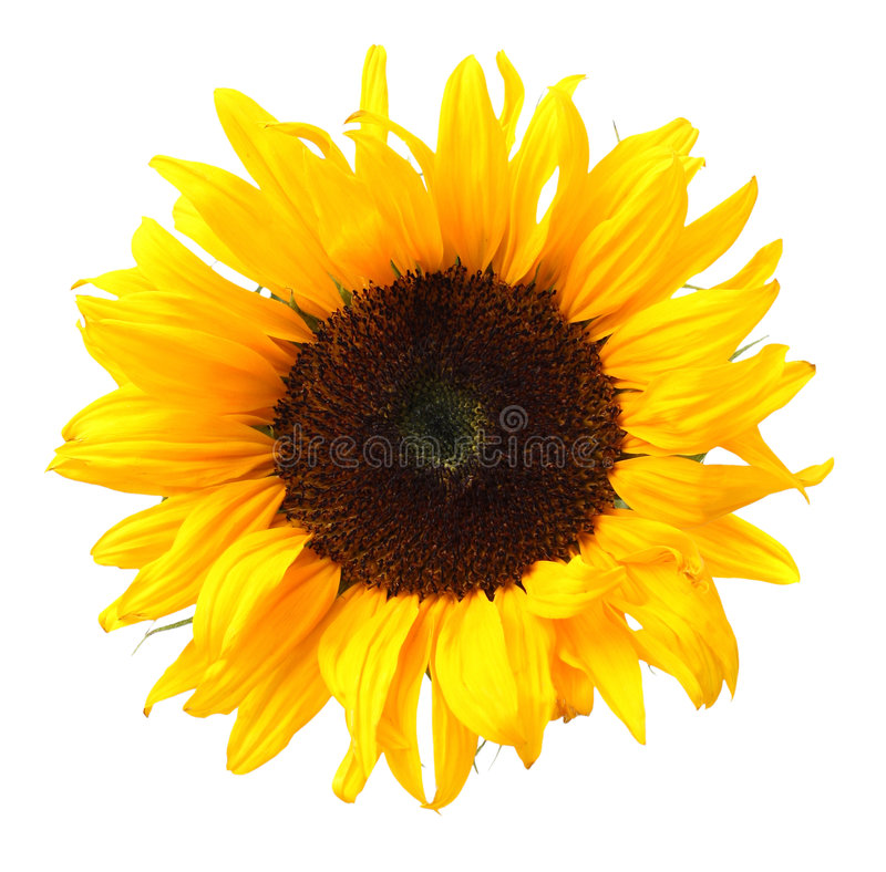 Free Sunflower Royalty Free Stock Images - 5991709