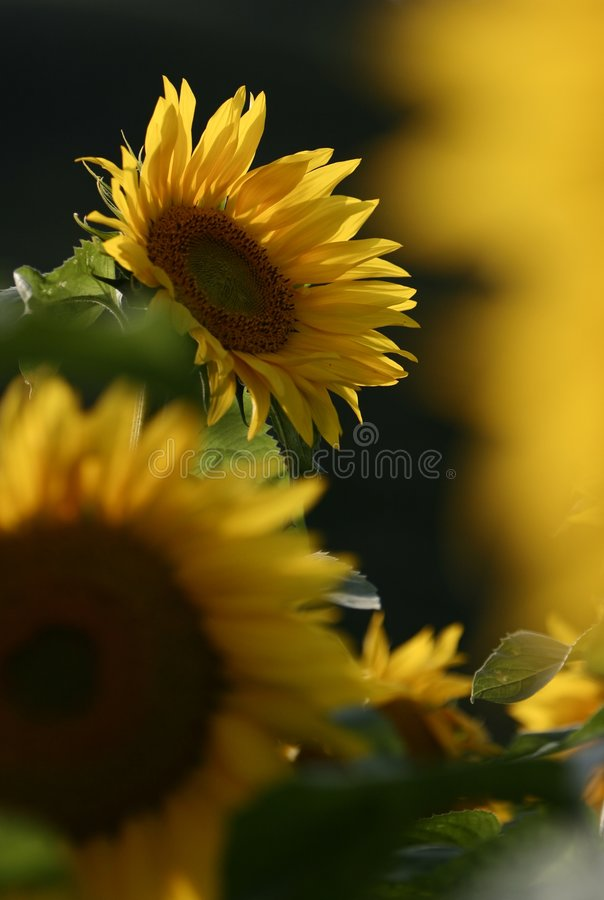Sunflower. The beautiful sunflowers in summer stock photo