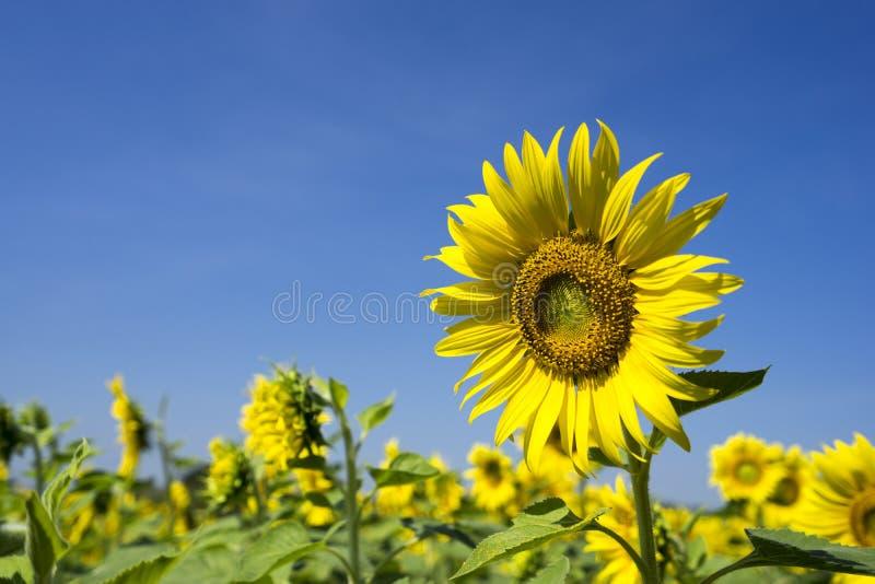 SunFlower1 arkivbild