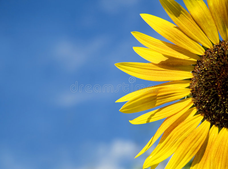 Download Sunflower stock photo. Image of bloom, colour, bright - 6701764