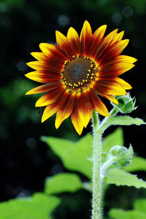Free Sunflower Royalty Free Stock Photos - 7040478