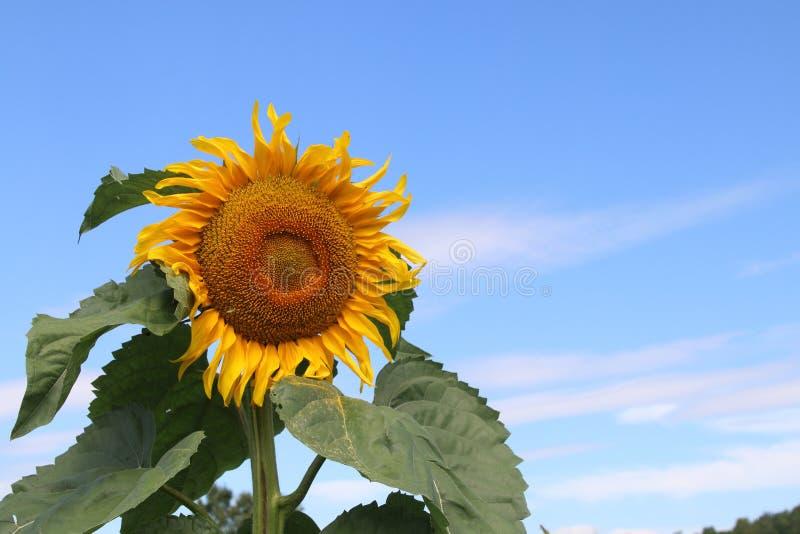 SunFlower1 photographie stock libre de droits