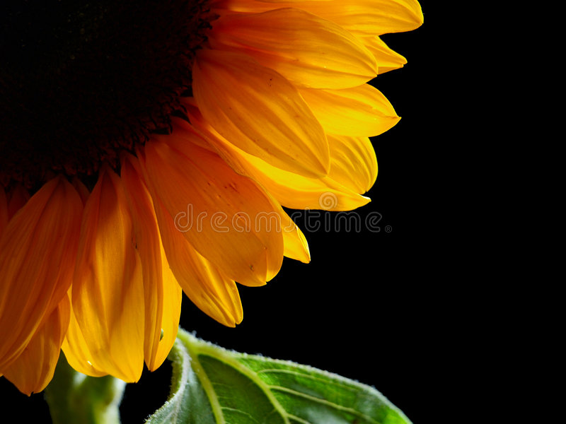 Download Sunflower stock photo. Image of nature, background, color - 7763768