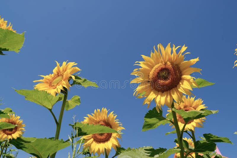 Download Sunflower stock image. Image of nature, blue, meadow, vibrant - 8662341