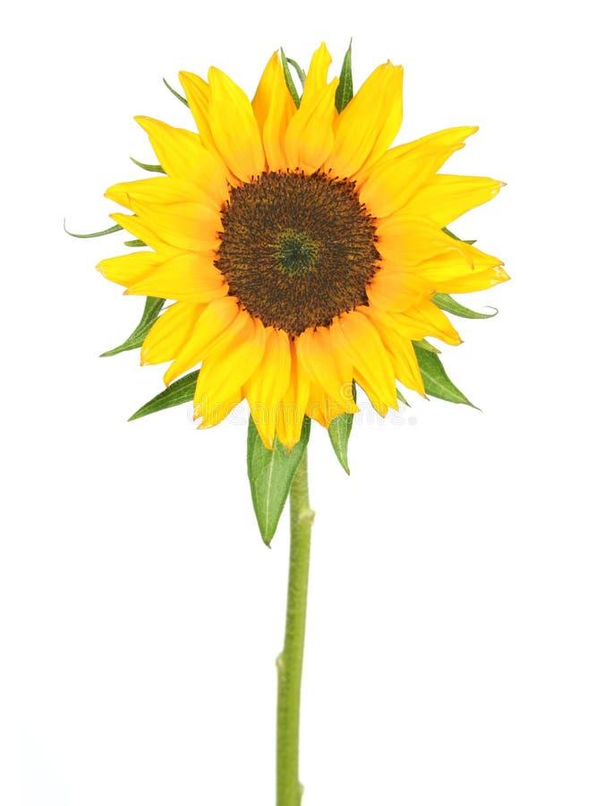Free Sunflower Royalty Free Stock Image - 876976