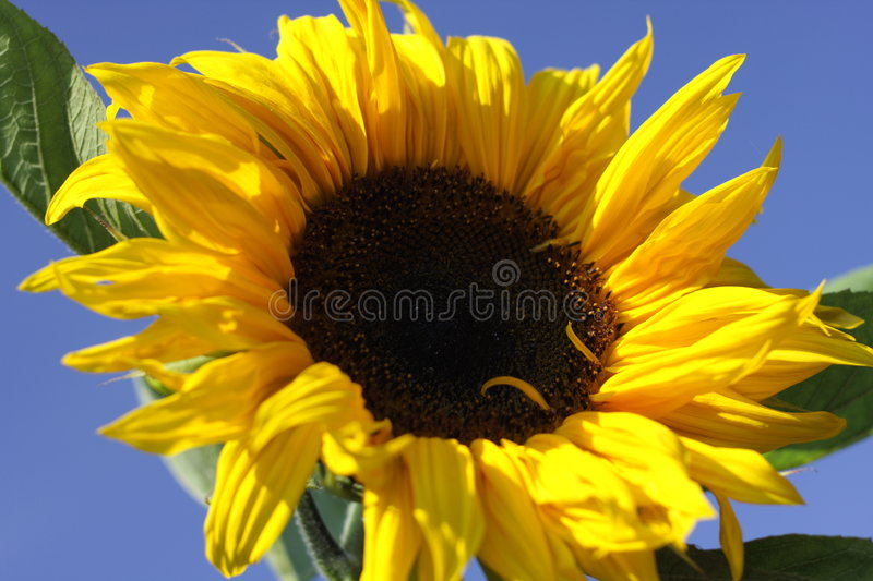 Download Sunflower stock image. Image of hayfever, growth, green - 8981047