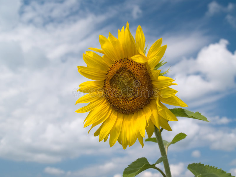Download Sunflower stock photo. Image of funny, gold, field, plant - 928092