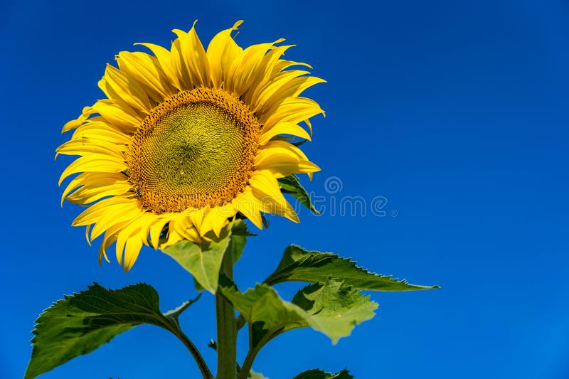 Sunflower in acres of northern Thailand. stock images