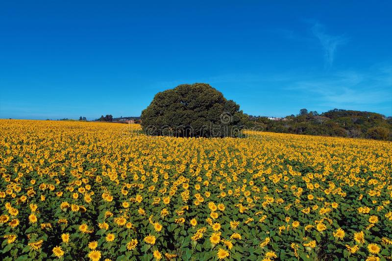 Sunflower: Aerial view of planting in Brazil. Beautiful landscape. stock images