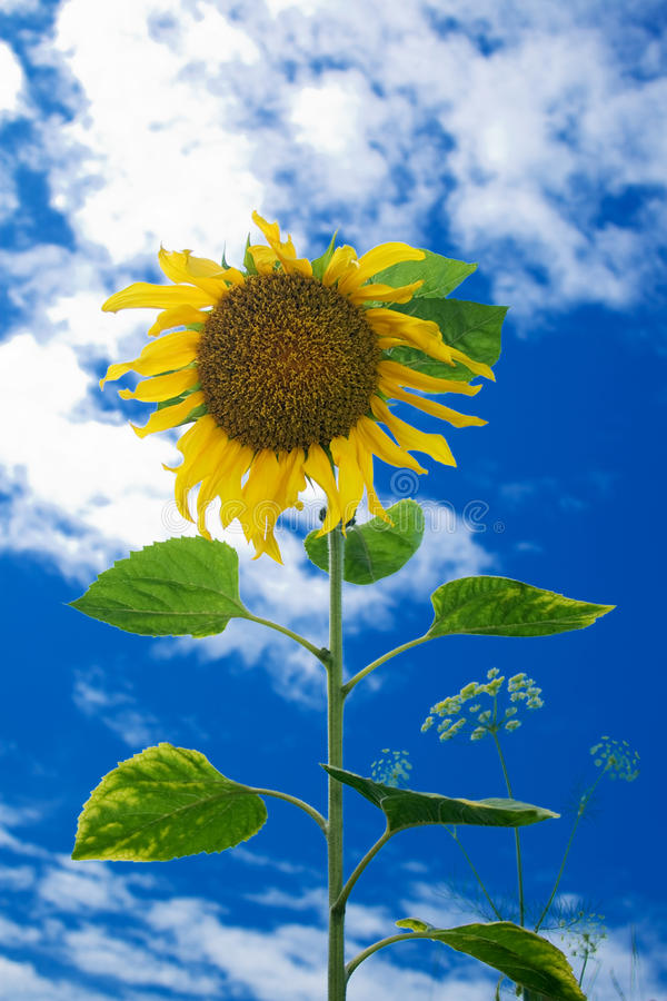 Download Sunflower Against The Blue Sky Royalty Free Stock Image - Image: 11152826