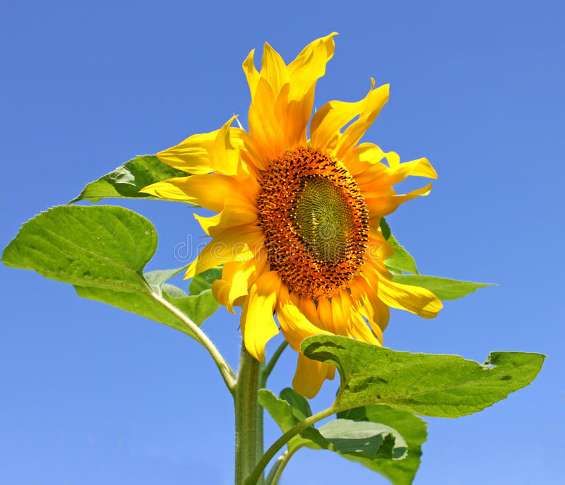 Sunflower against the sky stock images