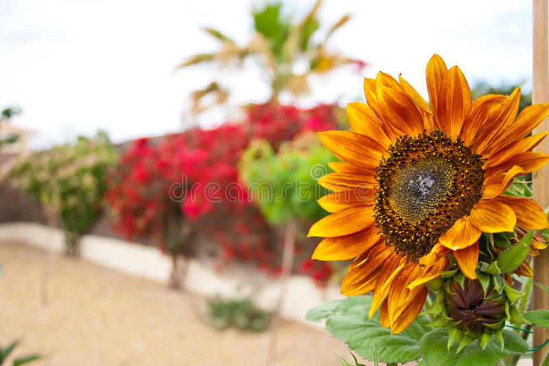 Sunflower against a wall of colors royalty free stock photos