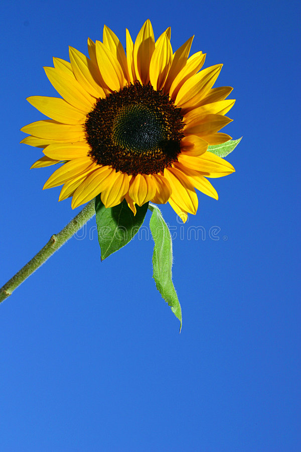 Free SUNFLOWER AND BLUE SKY Stock Image - 1288521