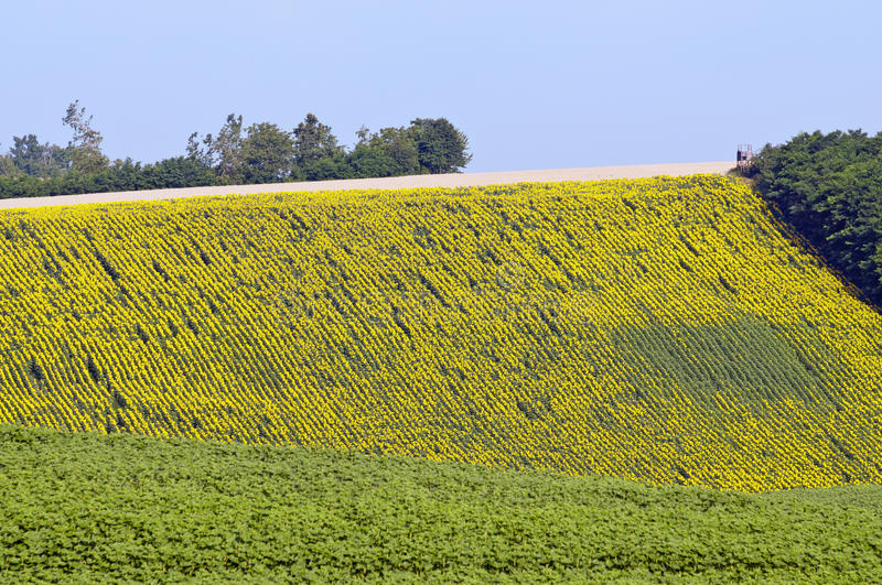 Sunflower area. Sunflower agricultural area with different size of flowers royalty free stock photography
