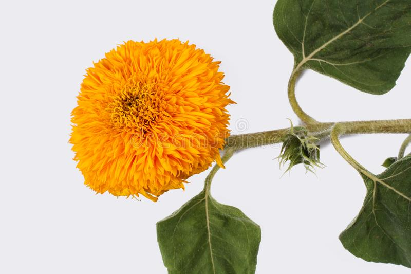 Sunflower baby, young flower of the plant. White isolated background royalty free stock photography