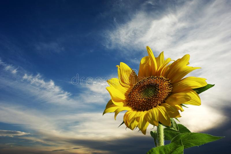 Sunflower for background. Sunflower with nice sky blue for background royalty free stock photos