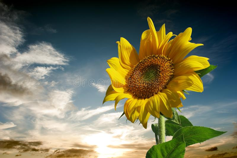 Sunflower for background. Sunflower with nice sky blue for background stock photos