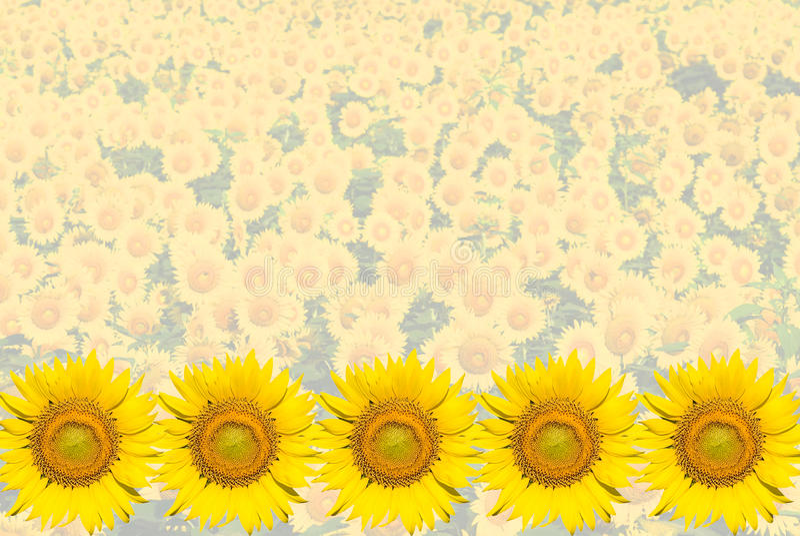 Sunflower Background Stock Photos