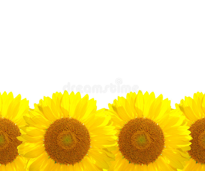 Download The sunflower background stock image. Image of agriculture - 25672023