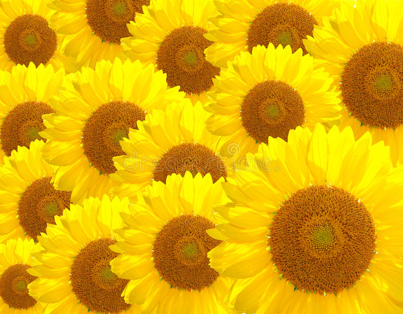Download Sunflower background stock photo. Image of macro, patterns - 25689942