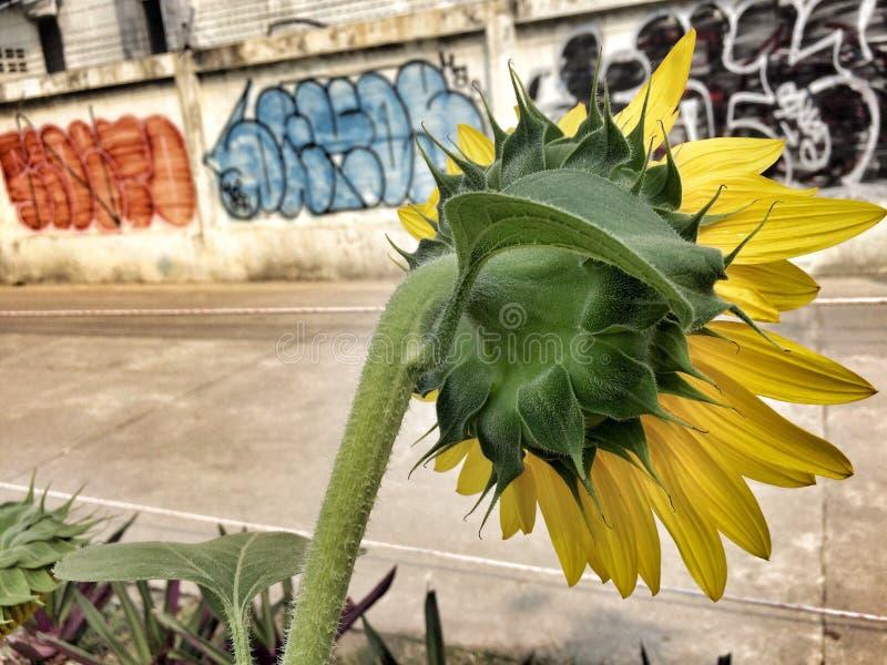 Sunflower on the Bangkok Street royalty free stock photography