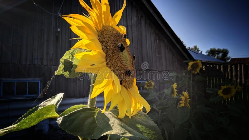 Bumblebees on a sunflower. Sunflower beautiful bumblebees stock images