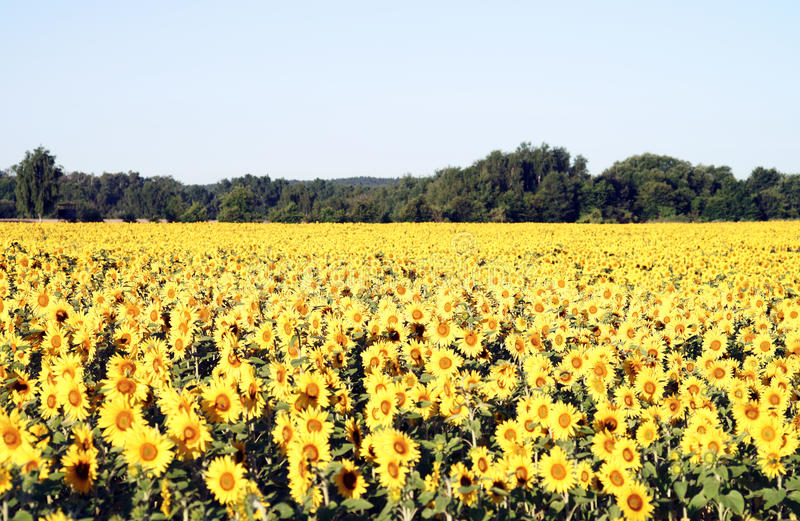Download Sunflower stock image. Image of farm, agriculture, floristry - 39504725