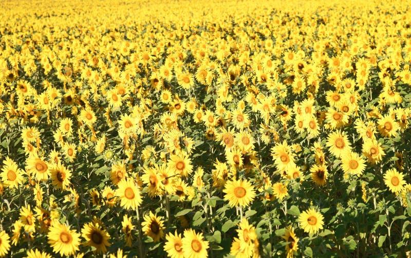 Download Sunflower stock image. Image of plant, sunflower, harvest - 39504787