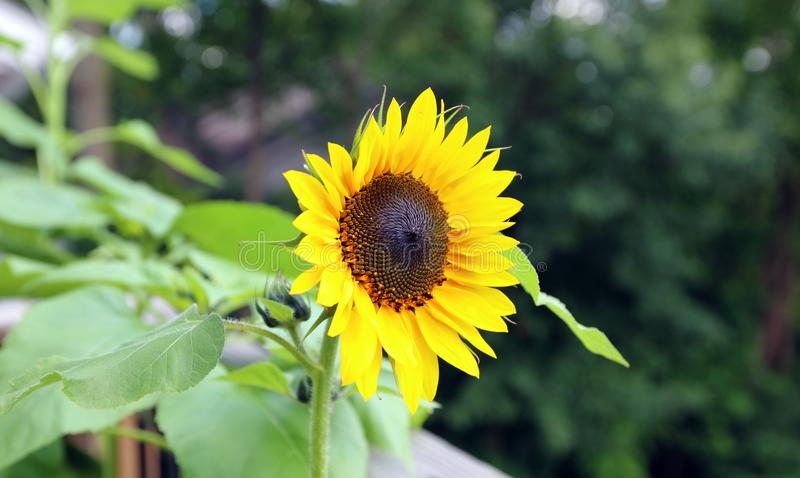 Sunflower beautiful flower yellow and green in background during summer at Michigan royalty free stock photography
