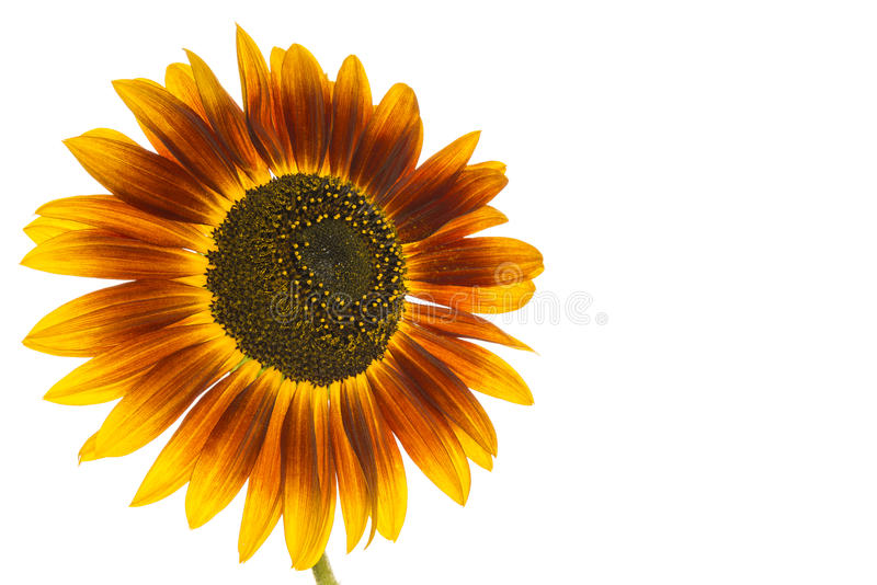 Download Sunflower stock image. Image of beauty, isolated, summer - 33346389