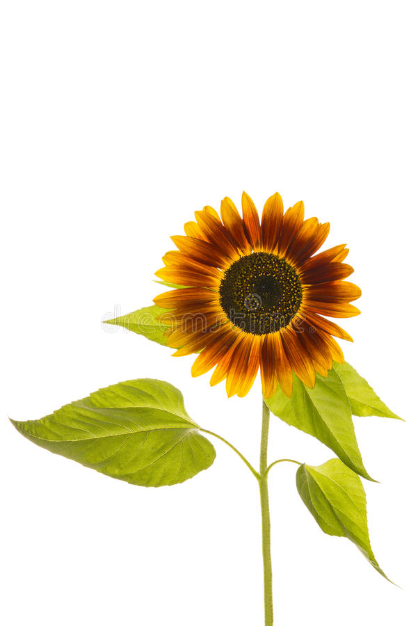 Download Sunflower stock image. Image of flower, wellness, yellow - 33346429