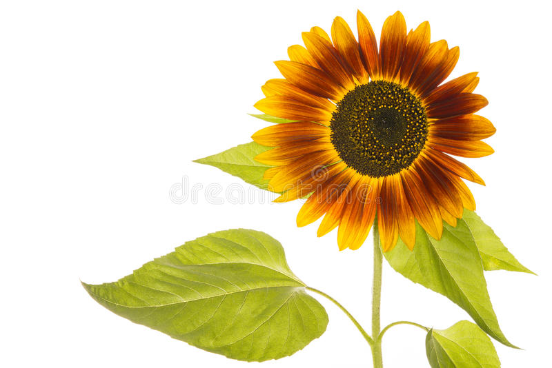 Download Sunflower stock photo. Image of beauty, seeds, flower - 33346450