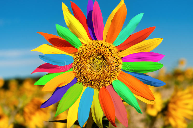 Sunflower. The beautiful multicoloured sunflower close up, horizontal photo stock images