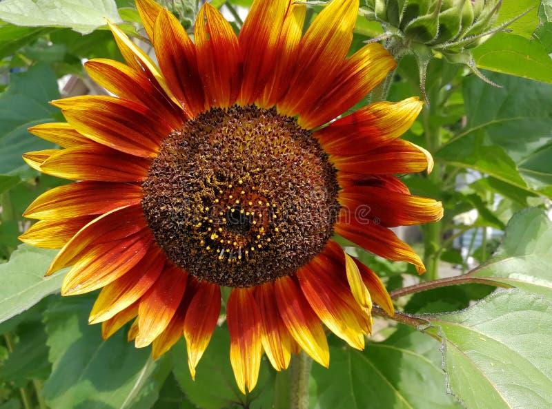 Sunflower, beautiful red sunflower in a garden stock photo