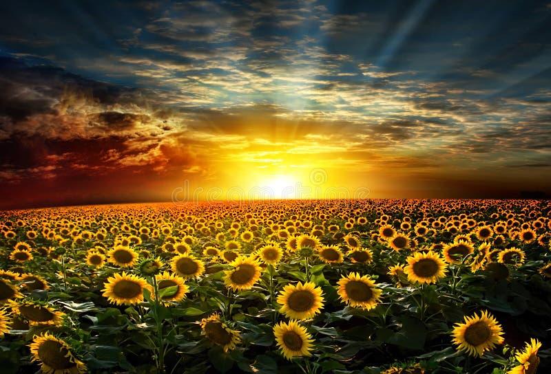 Sunflower Beautiful sunset over royalty free stock photo