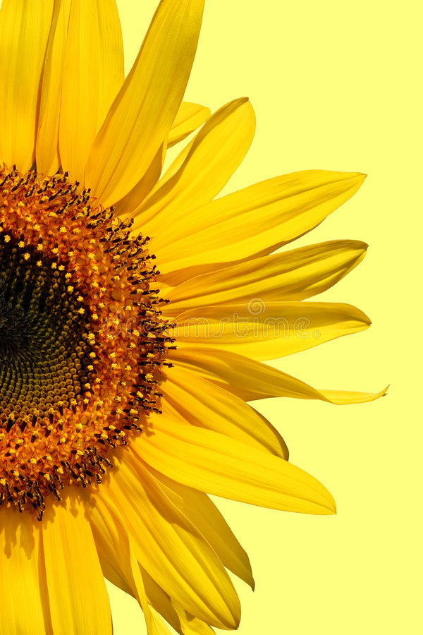 Free Sunflower Beauty Stock Images - 1957494