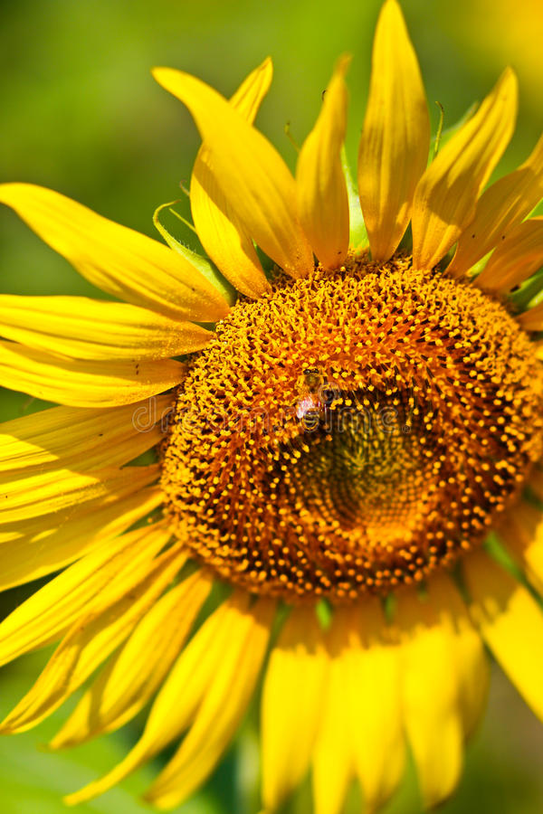 Download Sunflower and The Bee stock image. Image of closeup, petal - 14397397