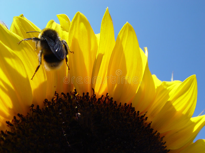 Download Sunflower with bee stock image. Image of sunny, blue, plants - 16891