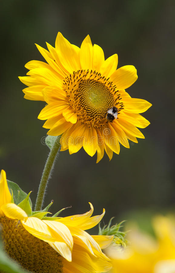 Download Sunflower with bee stock image. Image of field, beauty - 17506327