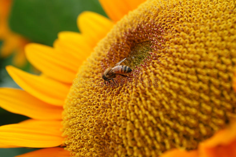 Download Sunflower and bee stock photo. Image of colour, collecting - 18298422