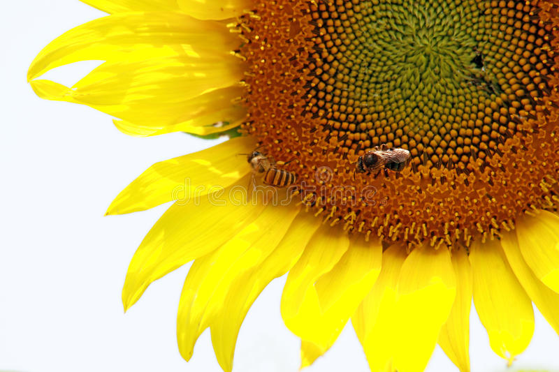 Download Sunflower and bee stock photo. Image of garden, insect - 19690736