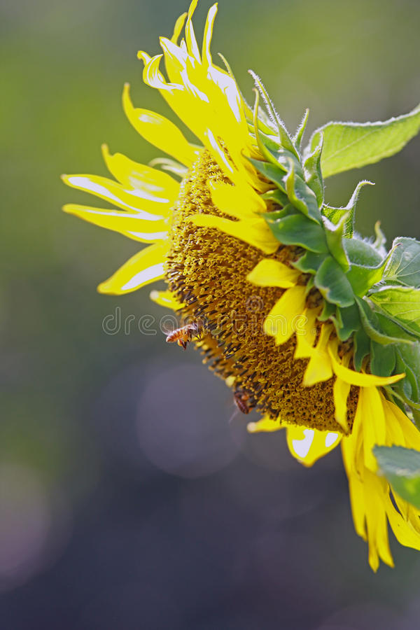 Download Sunflower and bee stock photo. Image of colorful, bloom - 19690816